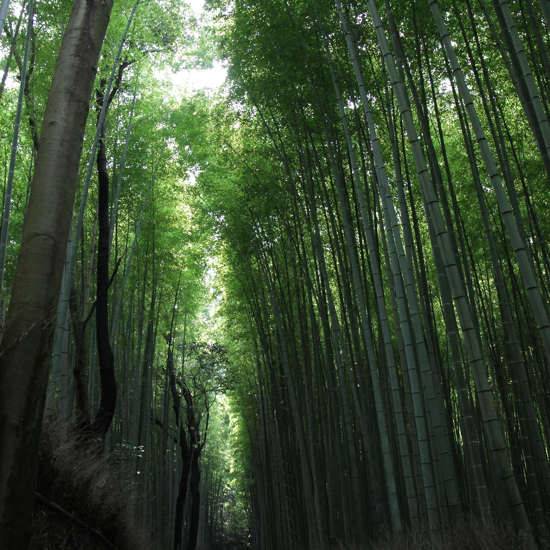 Bosque Sagano Bambú