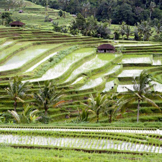 Terrazas de arrozales de Jatiluwih, en Bali