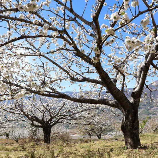 Primavera en el Jerte