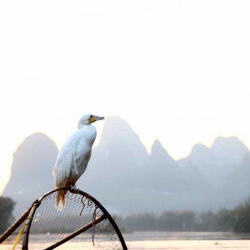 Pesca con cormoranes en Guilin